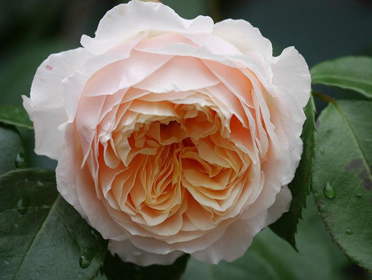 ジンジャー・シラバブ(ツルバラ)の花がたくさん咲いた。2020年-012.jpg