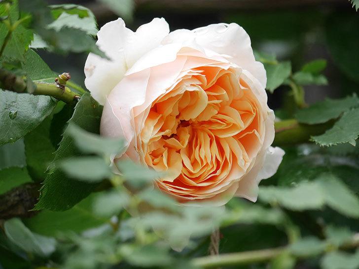 ジンジャー・シラバブ(ツルバラ)の花がたくさん咲いた。2020年-014.jpg
