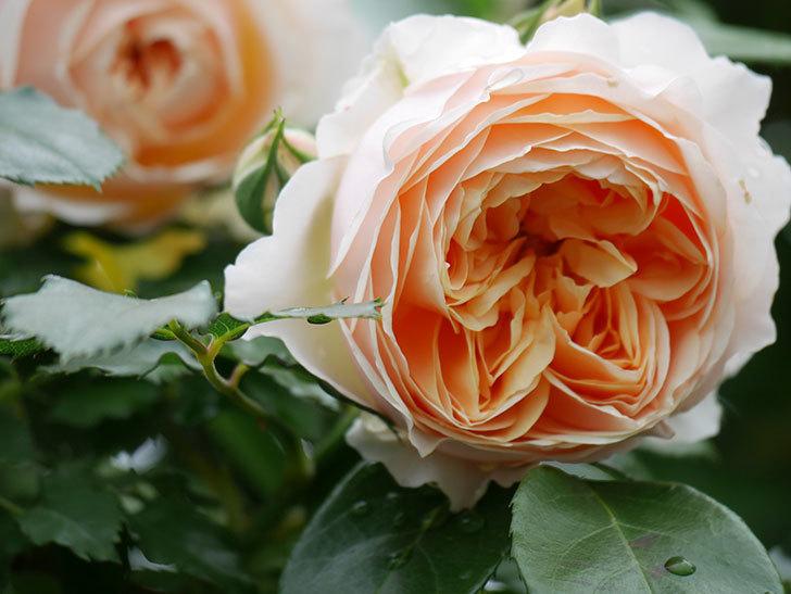 ジンジャー・シラバブ(ツルバラ)の花がたくさん咲いた。2020年-015.jpg