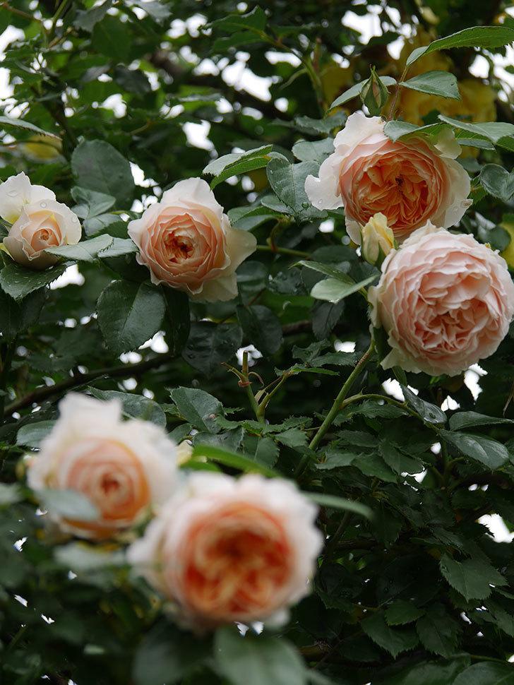 ジンジャー・シラバブ(ツルバラ)の花がたくさん咲いた。2020年-016.jpg