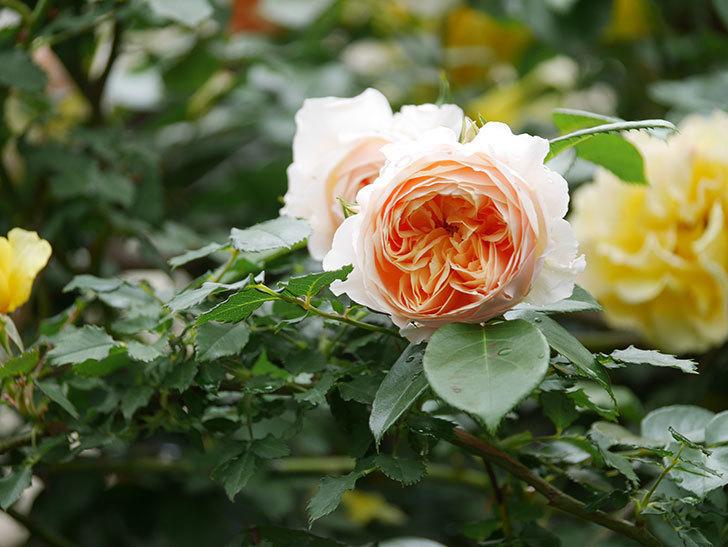 ジンジャー・シラバブ(ツルバラ)の花がたくさん咲いた。2020年-017.jpg