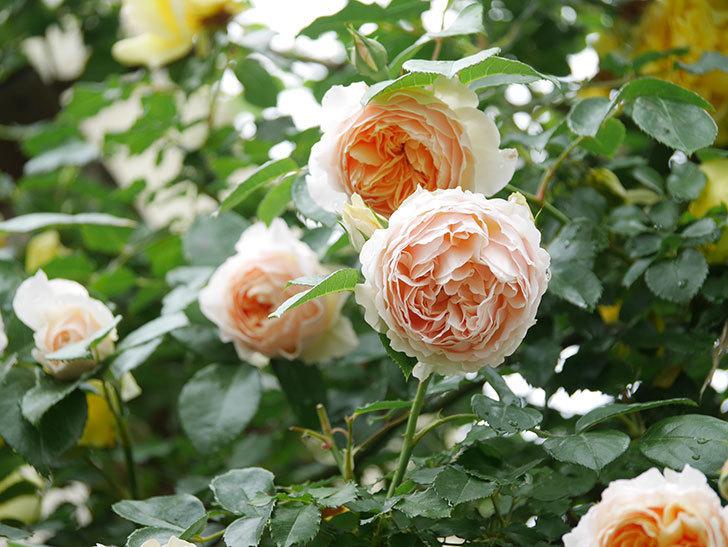 ジンジャー・シラバブ(ツルバラ)の花がたくさん咲いた。2020年-018.jpg