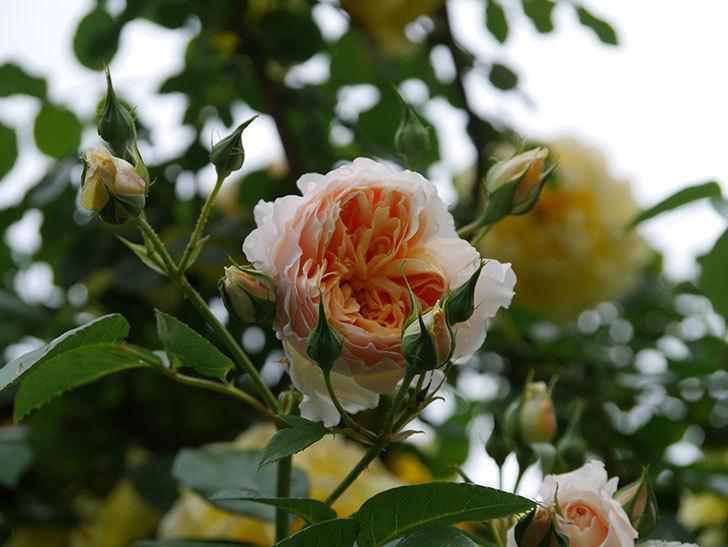 ジンジャー・シラバブ(ツルバラ)の花がたくさん咲いた。2020年-019.jpg