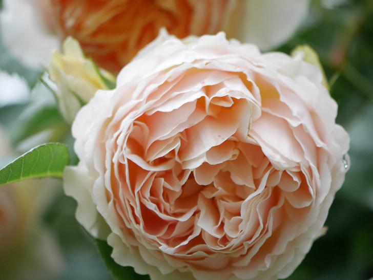 ジンジャー・シラバブ(ツルバラ)の花がたくさん咲いた。2020年-021.jpg