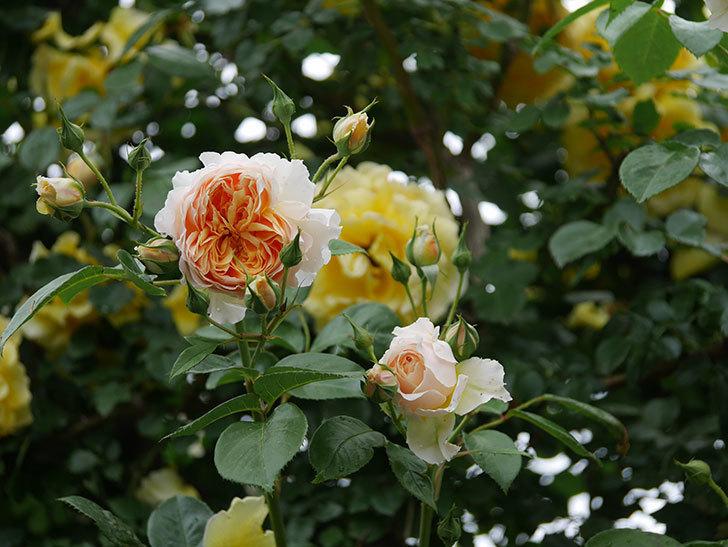 ジンジャー・シラバブ(ツルバラ)の花がたくさん咲いた。2020年-022.jpg
