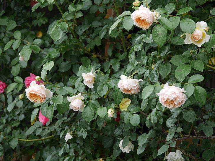 ジンジャー・シラバブ(ツルバラ)の花がたくさん咲いた。2020年-023.jpg