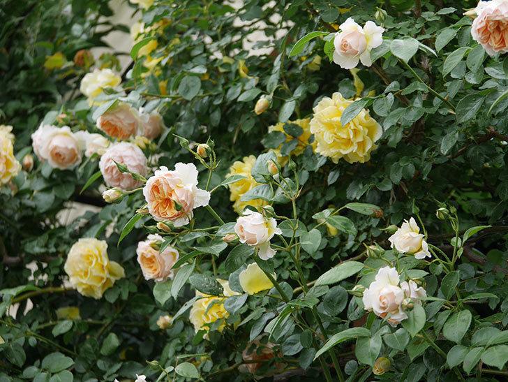 ジンジャー・シラバブ(ツルバラ)の花がたくさん咲いた。2020年-024.jpg