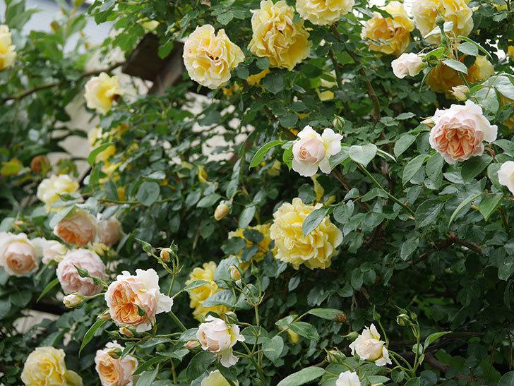ジンジャー・シラバブ(ツルバラ)の花がたくさん咲いた。2020年-025.jpg