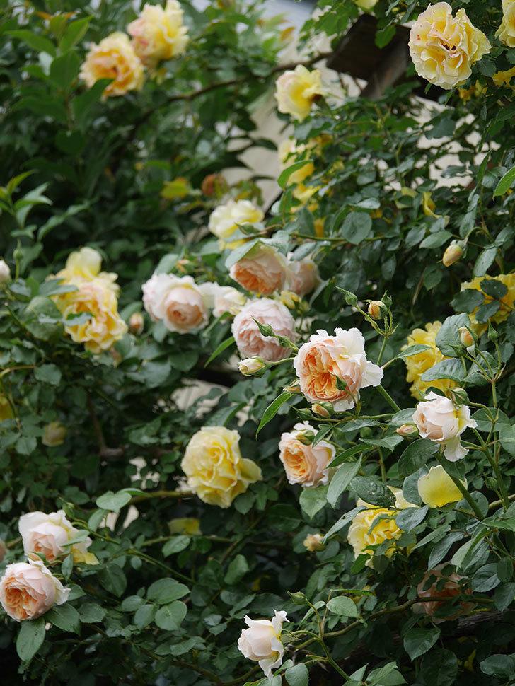 ジンジャー・シラバブ(ツルバラ)の花がたくさん咲いた。2020年-026.jpg