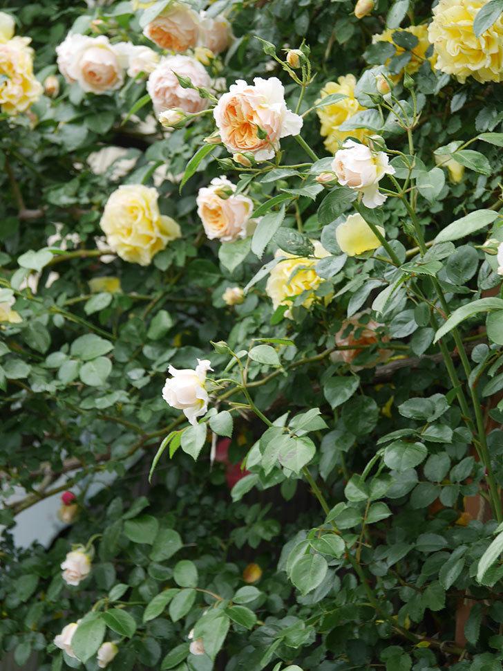 ジンジャー・シラバブ(ツルバラ)の花がたくさん咲いた。2020年-027.jpg