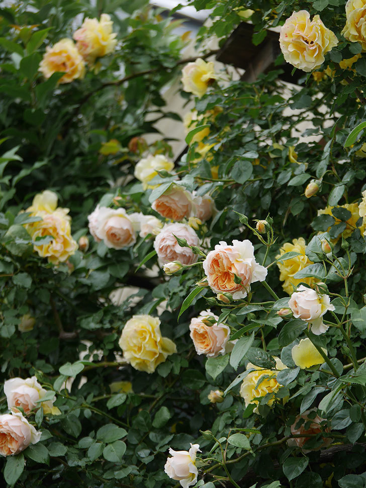 ジンジャー・シラバブ(ツルバラ)の花がたくさん咲いた。2020年-028.jpg