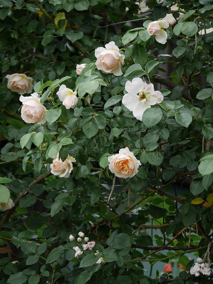 ジンジャー・シラバブ(ツルバラ)の花がたくさん咲いた。2020年-029.jpg