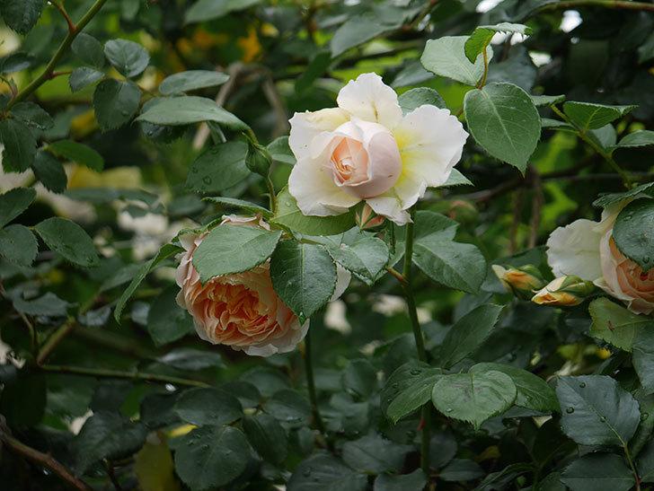 ジンジャー・シラバブ(ツルバラ)の花がたくさん咲いた。2020年-030.jpg