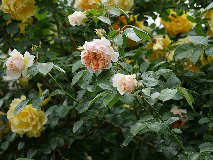 ジンジャー・シラバブ(ツルバラ)の花がたくさん咲いた。2020年-031.jpg