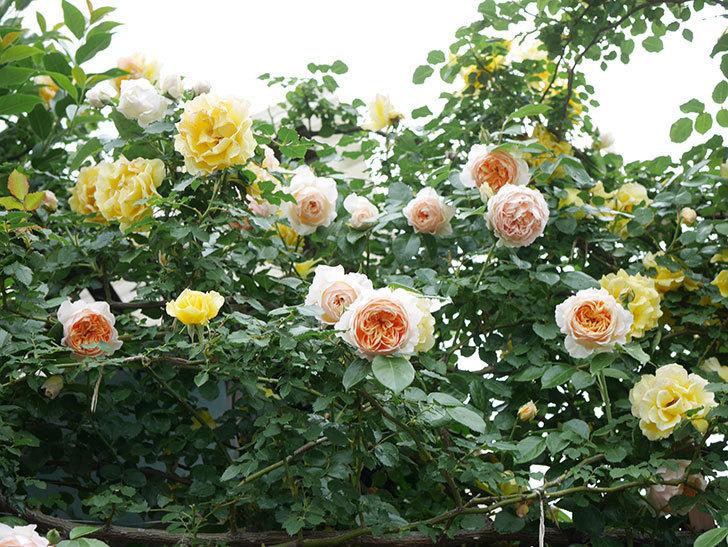 ジンジャー・シラバブ(ツルバラ)の花がたくさん咲いた。2020年-032.jpg
