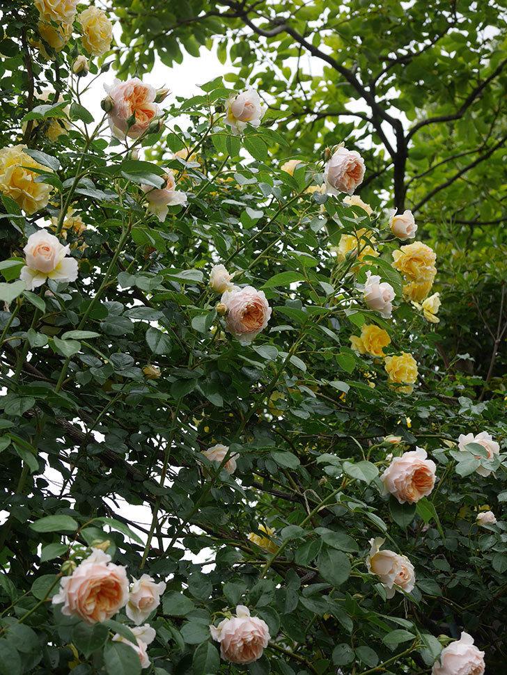 ジンジャー・シラバブ(ツルバラ)の花がたくさん咲いた。2020年-033.jpg