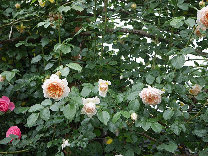 ジンジャー・シラバブ(ツルバラ)の花がたくさん咲いた。2020年-034.jpg