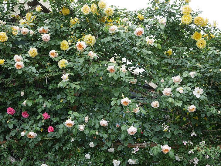 ジンジャー・シラバブ(ツルバラ)の花がたくさん咲いた。2020年-035.jpg