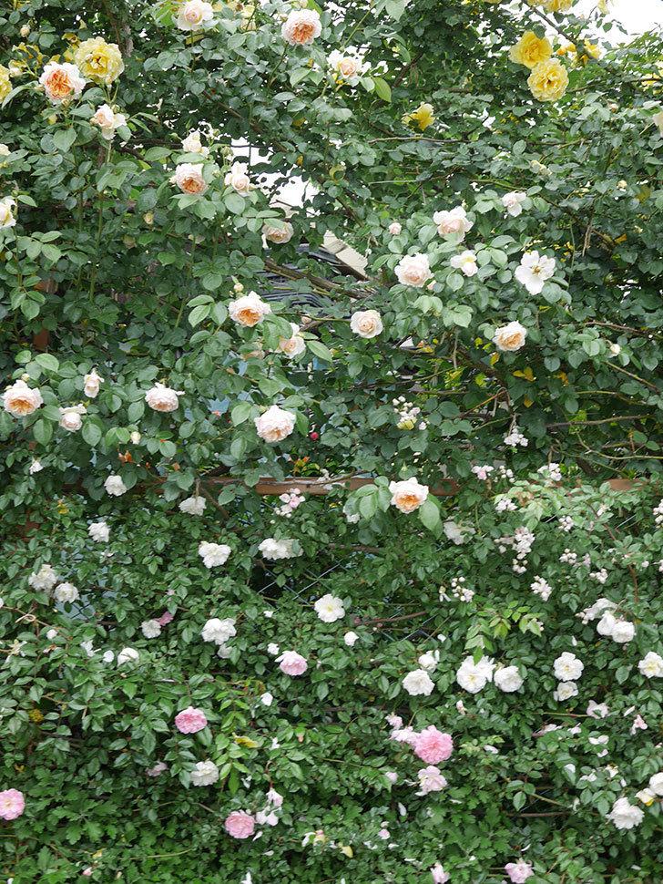 ジンジャー・シラバブ(ツルバラ)の花がたくさん咲いた。2020年-036.jpg