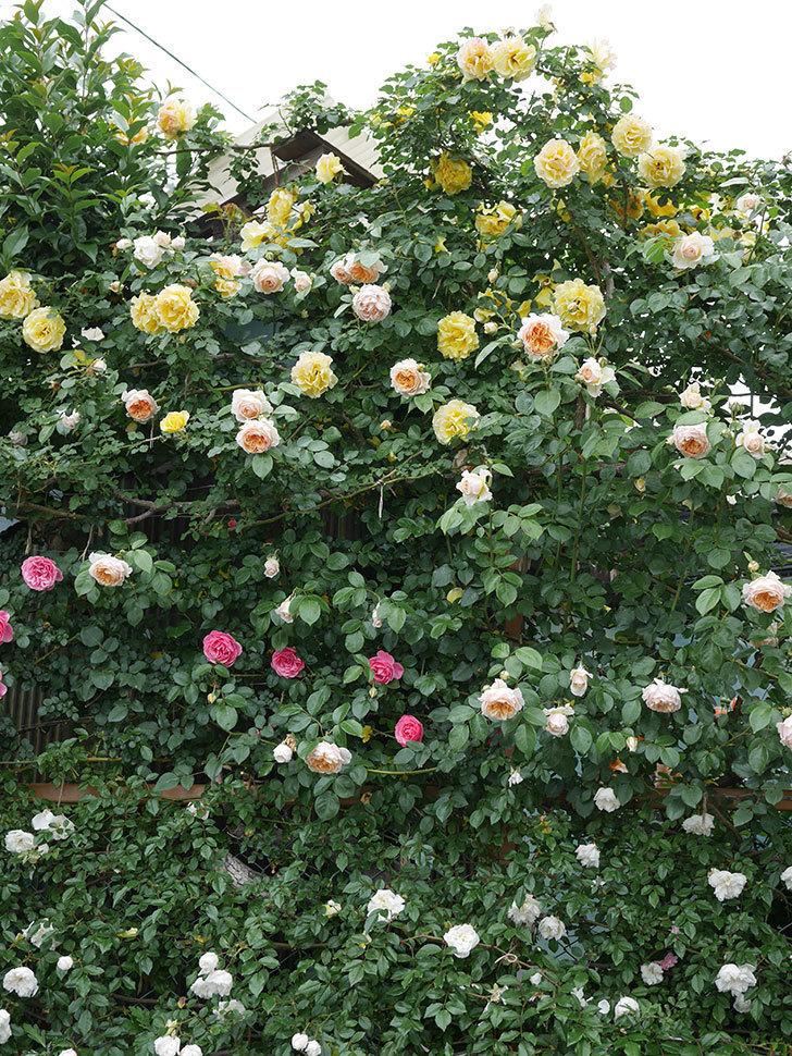ジンジャー・シラバブ(ツルバラ)の花がたくさん咲いた。2020年-037.jpg