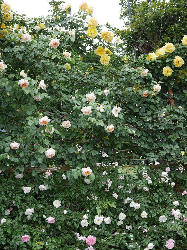 ジンジャー・シラバブ(ツルバラ)の花がたくさん咲いた。2020年-038.jpg