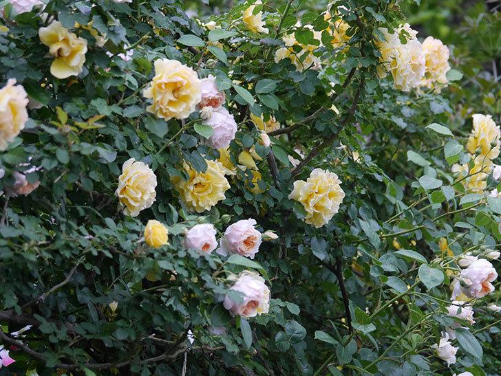 ジンジャー・シラバブ(ツルバラ)の花がたくさん咲いた。2020年-039.jpg