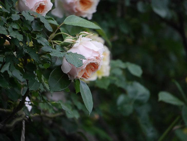 ジンジャー・シラバブ(ツルバラ)の花がたくさん咲いた。2020年-040.jpg