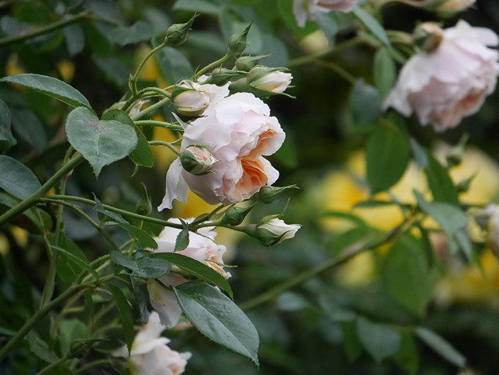 ジンジャー・シラバブ(ツルバラ)の花がたくさん咲いた。2020年-041.jpg