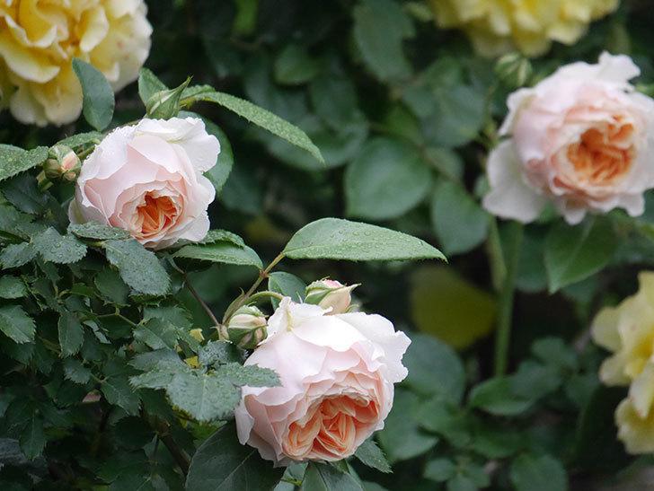 ジンジャー・シラバブ(ツルバラ)の花がたくさん咲いた。2020年-042.jpg