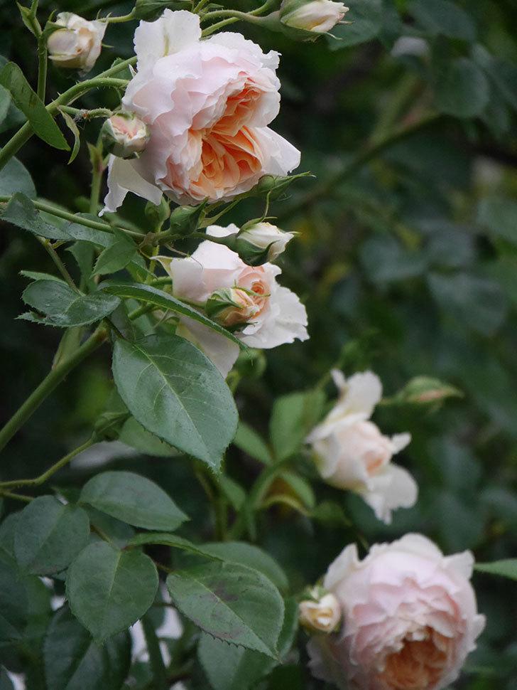 ジンジャー・シラバブ(ツルバラ)の花がたくさん咲いた。2020年-044.jpg