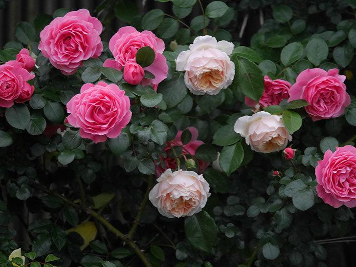 ジンジャー・シラバブ(ツルバラ)の花がたくさん咲いた。2020年-045.jpg
