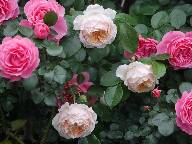 ジンジャー・シラバブ(ツルバラ)の花がたくさん咲いた。2020年-046.jpg