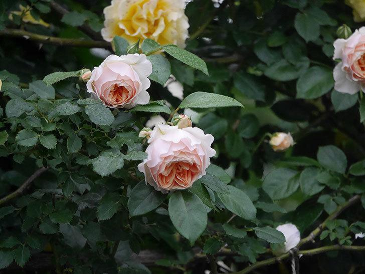 ジンジャー・シラバブ(ツルバラ)の花がたくさん咲いた。2020年-047.jpg