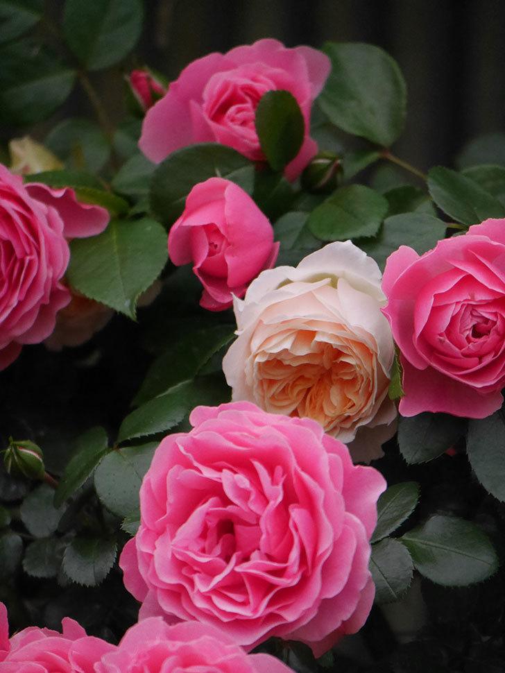 ジンジャー・シラバブ(ツルバラ)の花がたくさん咲いた。2020年-048.jpg