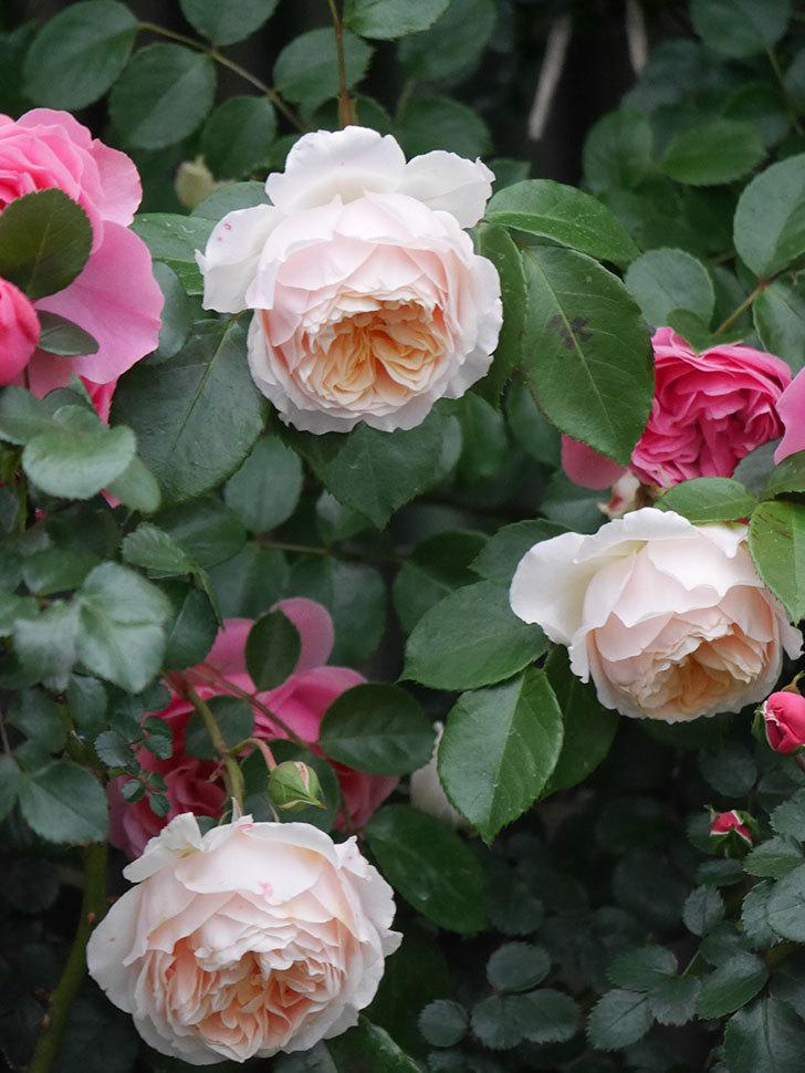 ジンジャー・シラバブ(ツルバラ)の花がたくさん咲いた。2020年-049.jpg