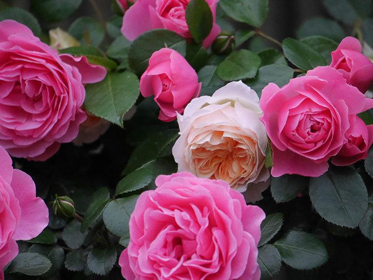 ジンジャー・シラバブ(ツルバラ)の花がたくさん咲いた。2020年-050.jpg