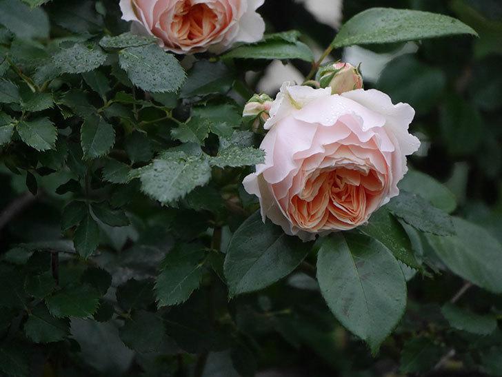 ジンジャー・シラバブ(ツルバラ)の花がたくさん咲いた。2020年-051.jpg