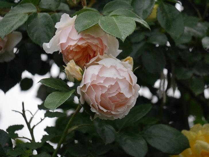ジンジャー・シラバブ(ツルバラ)の花がたくさん咲いた。2020年-052.jpg