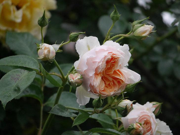 ジンジャー・シラバブ(ツルバラ)の花がたくさん咲いた。2020年-053.jpg
