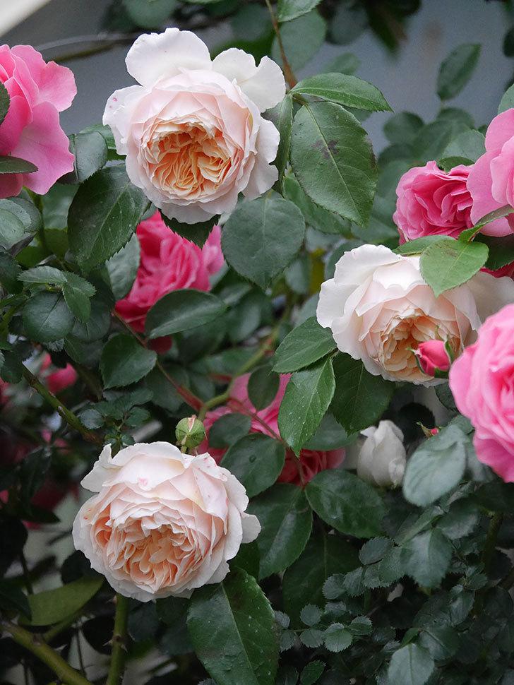 ジンジャー・シラバブ(ツルバラ)の花がたくさん咲いた。2020年-054.jpg
