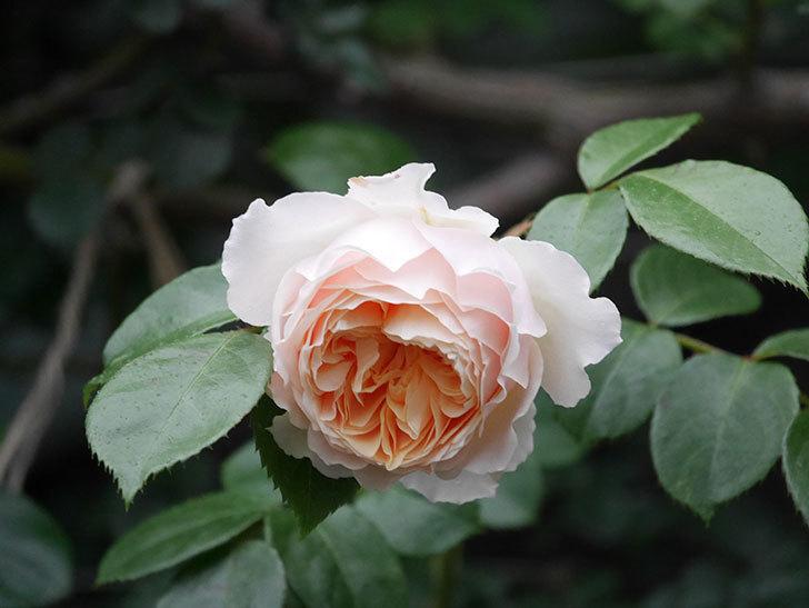 ジンジャー・シラバブ(ツルバラ)の花がたくさん咲いた。2020年-055.jpg