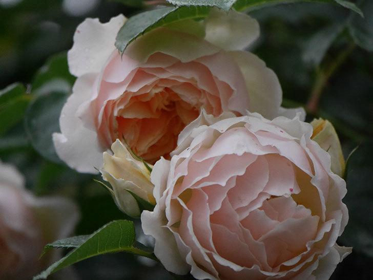 ジンジャー・シラバブ(ツルバラ)の花がたくさん咲いた。2020年-056.jpg