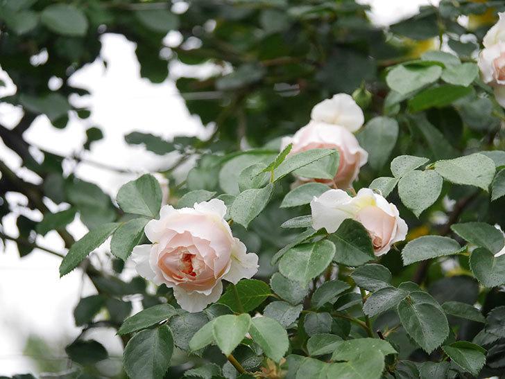 ジンジャー・シラバブ(ツルバラ)の花がたくさん咲いた。2020年-058.jpg