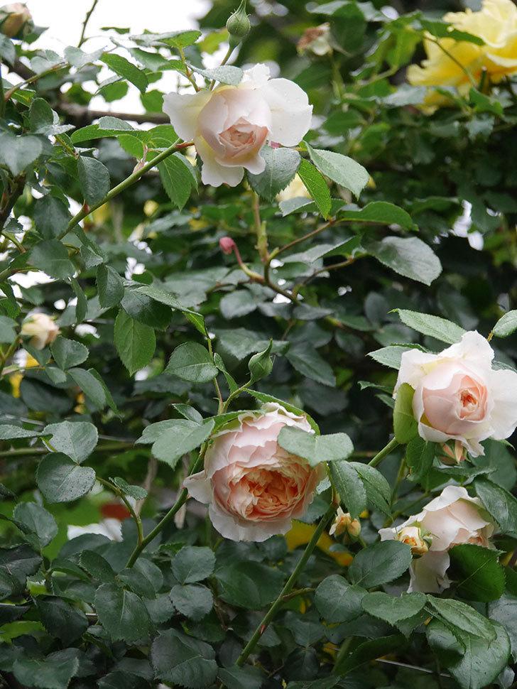 ジンジャー・シラバブ(ツルバラ)の花がたくさん咲いた。2020年-059.jpg
