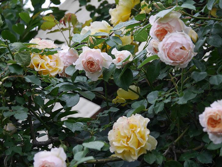 ジンジャー・シラバブ(ツルバラ)の花がたくさん咲いた。2020年-060.jpg