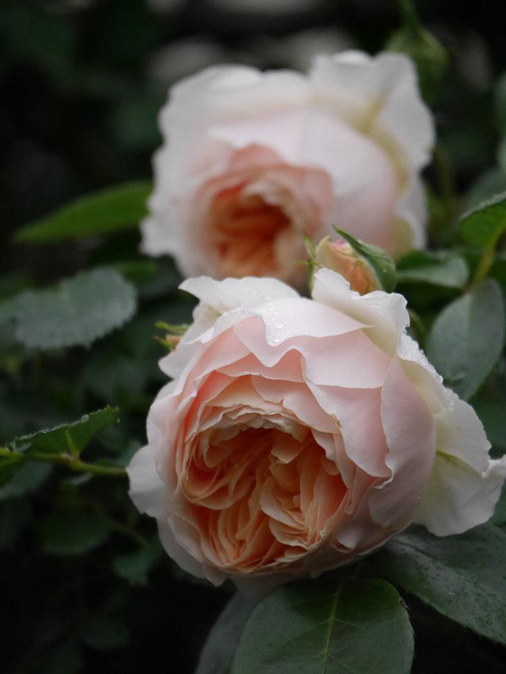ジンジャー・シラバブ(ツルバラ)の花がたくさん咲いた。2020年-061.jpg
