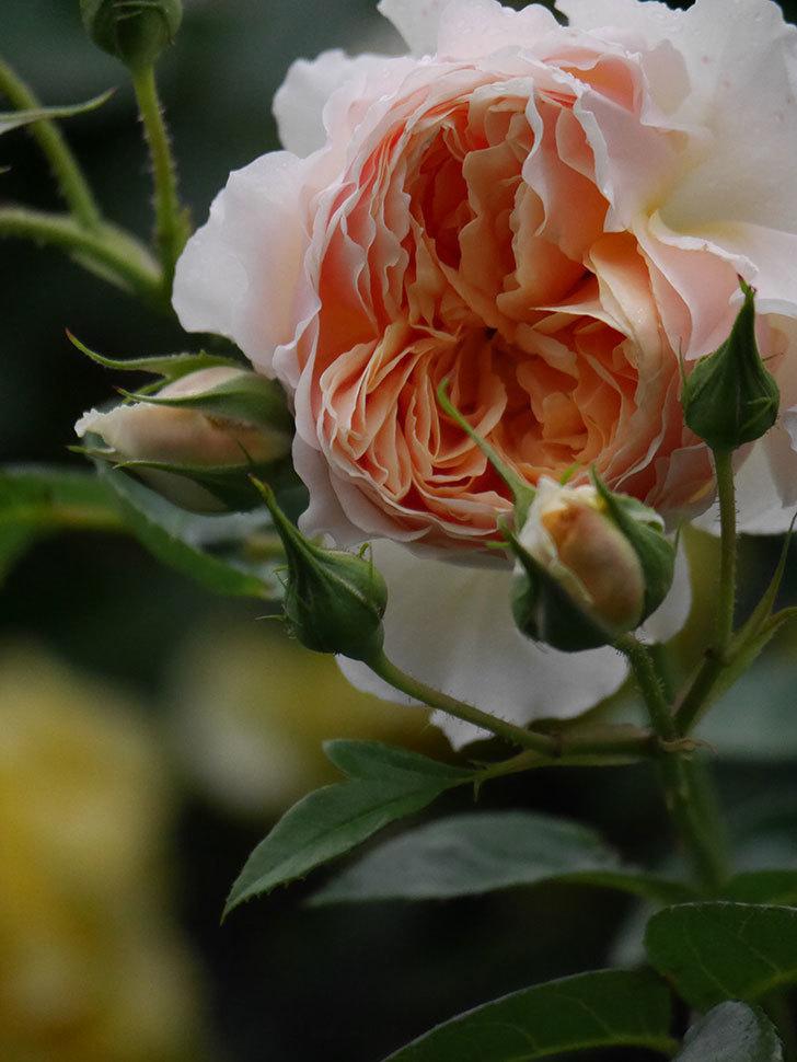 ジンジャー・シラバブ(ツルバラ)の花がたくさん咲いた。2020年-062.jpg
