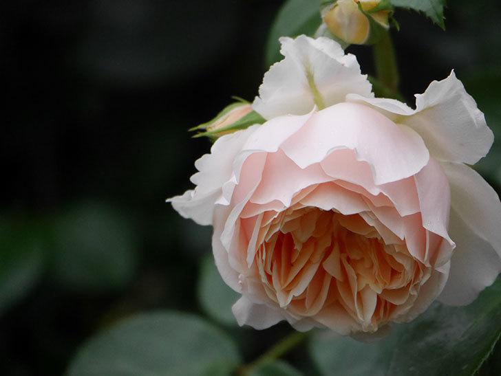 ジンジャー・シラバブ(ツルバラ)の花がたくさん咲いた。2020年-063.jpg
