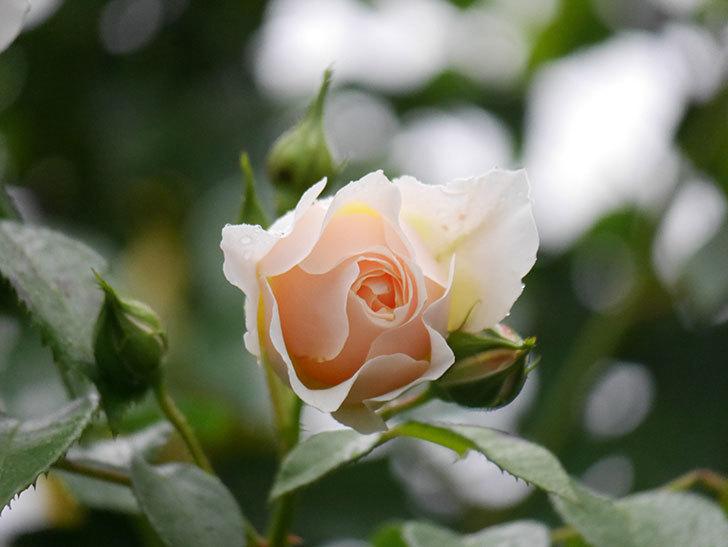 ジンジャー・シラバブ(ツルバラ)の花がたくさん咲いた。2020年-064.jpg