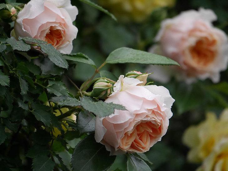 ジンジャー・シラバブ(ツルバラ)の花がたくさん咲いた。2020年-065.jpg